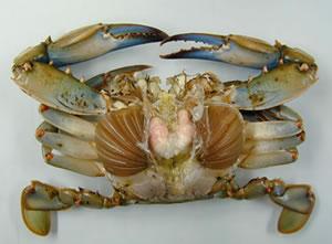 Blue Crab – popis