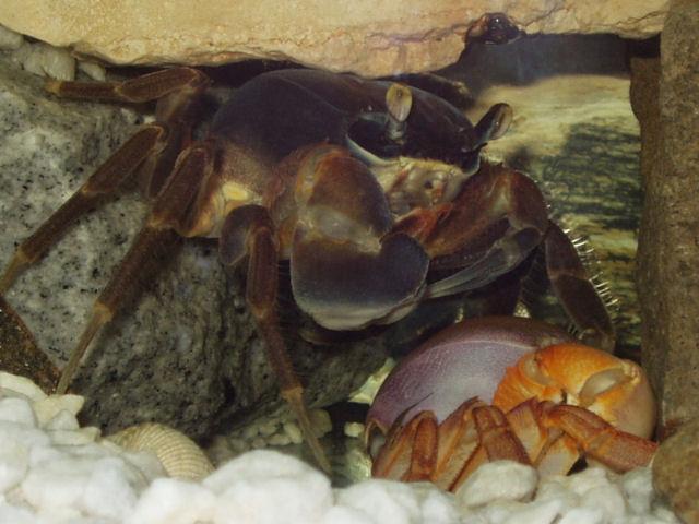 Svlečený krab