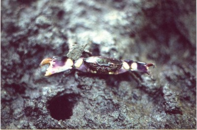 eurycarcinus_natalensis_02.jpg