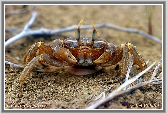 ocypode_ceratophthalmus_02.jpg