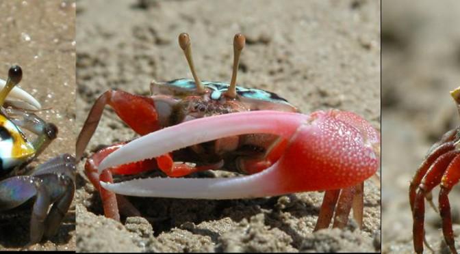 Fiddler Crab – popis