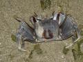 ocypode_ceratophthalmus_04