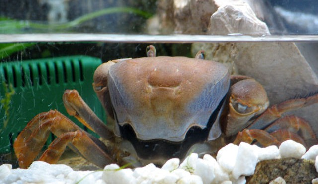 Svlékání kraba
