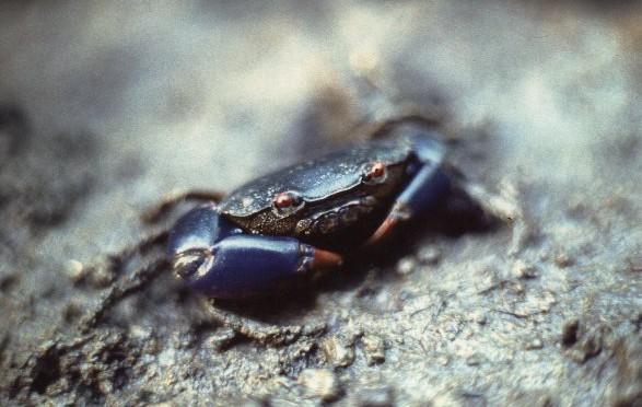 Eurycarcinus Natalensis